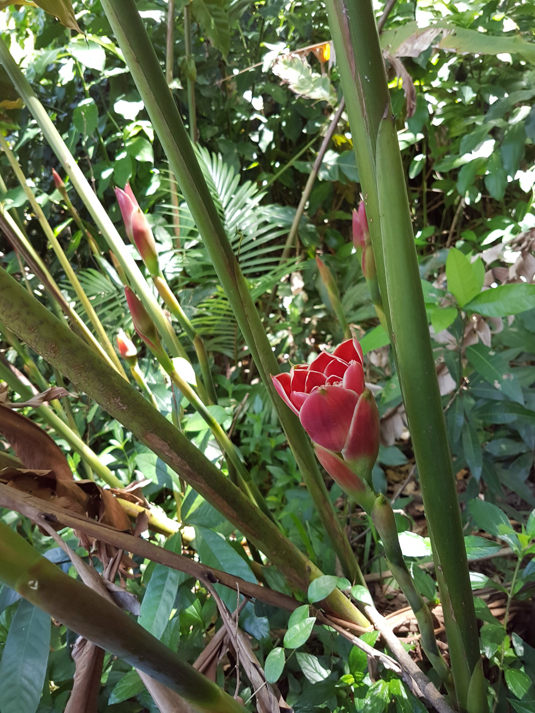 tulip-ginger.jpg